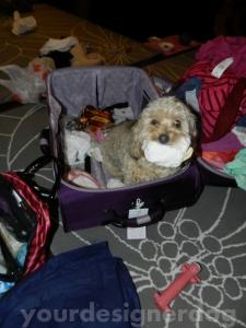 dogs, designer dogs, yorkipoo, thief, mischief, socks, suitcase