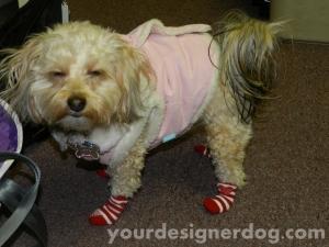 dogs, designer dogs, yorkipoo, socks