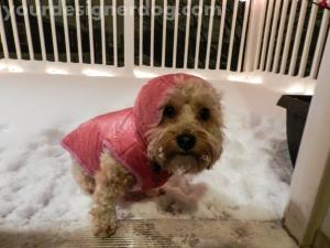 dogs, designer dogs, yorkipoo, snow, ears