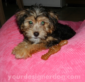 dogs, designer dogs, yorkipoo, pets, puppy