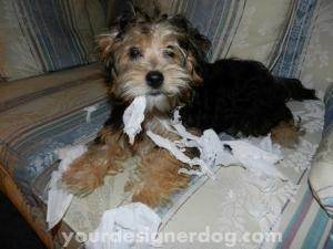dogs, designer dogs, yorkipoo, tissue, mischief