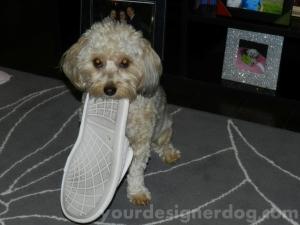 dogs, designer dogs, yorkipoo, slipper, mischief