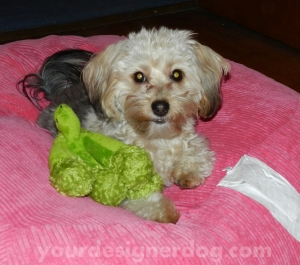 dogs, designer dogs, yorkipoo, pets,