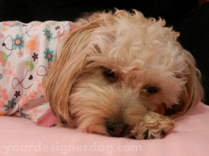dogs, designer dogs, yorkipoo, pets, pjs, pouting